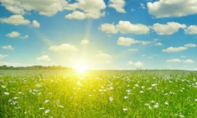 sunny green meadow with white flowerss, blue sky with white fluffy fclouds
