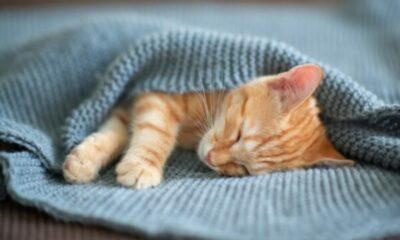 tiny ginger kitten cuddled in a blue blanket
