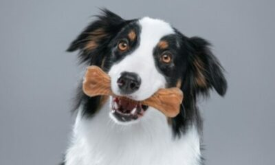 collie dog with bone in its mouth